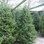 Fresh Cut Frasier Fir Trees